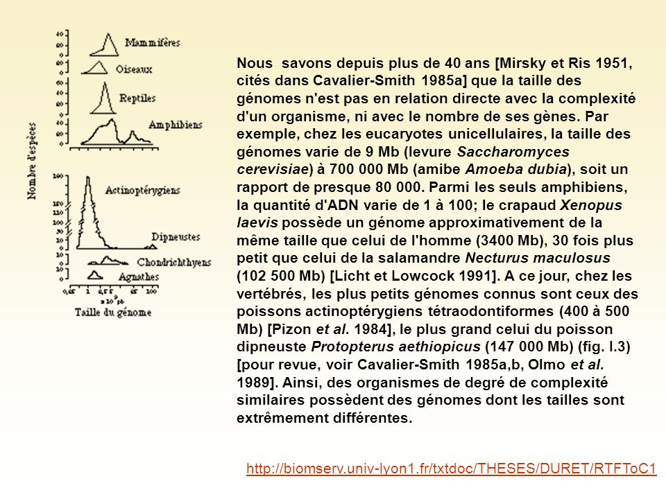 Nous savons depuis plus de 40 ans [Mirsky et Ris 1951, cités dans Cavalier-Smith 1985a] que la taille des génomes n est pas en relation directe avec la complexité d un organisme, ni avec le nombre de ses gènes. Par exemple, chez les eucaryotes unicellulaires, la taille des génomes varie de 9 Mb (levure Saccharomyces cerevisiae) à 700 000 Mb (amibe Amoeba dubia), soit un rapport de presque 80 000. Parmi les seuls amphibiens, la quantité d ADN varie de 1 à 100; le crapaud Xenopus laevis possède un génome approximativement de la même taille que celui de l homme (3400 Mb), 30 fois plus petit que celui de la salamandre Necturus maculosus (102 500 Mb) [Licht et Lowcock 1991]. A ce jour, chez les vertébrés, les plus petits génomes connus sont ceux des poissons actinoptérygiens tétraodontiformes (400 à 500 Mb) [Pizon et al. 1984], le plus grand celui du poisson dipneuste Protopterus aethiopicus (147 000 Mb) (fig. I.3) [pour revue, voir Cavalier-Smith 1985a,b, Olmo et al. 1989]. Ainsi, des organismes de degré de complexité similaires possèdent des génomes dont les tailles sont extrêmement différentes.